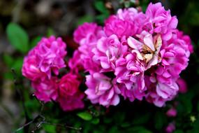 盛开的粉紫色蔷薇花