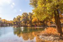 水边的金色胡杨林