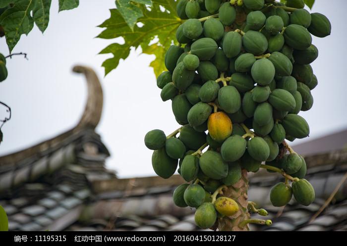 挂满枝头的木瓜图片