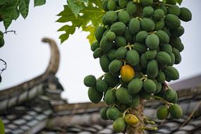 挂满枝头的木瓜