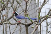 树枝上的红嘴蓝鹊