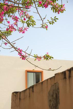 夏天的紫荆花