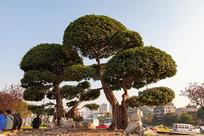 城市街心花园榕树造型