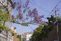 青岛老城区的梧桐花