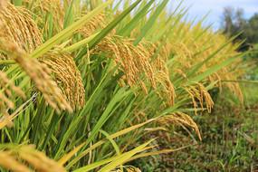 稻谷稻米图