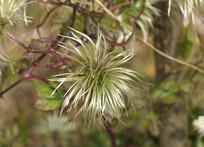 毛茛科植物铁线莲