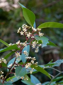 卫矛科植物刺茶裸实