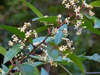 卫矛科植物刺茶裸实盛花期