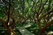 江心屿榕树林