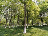 绿树草地阳光树林