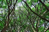 榕树林树杈