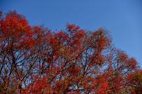 椰榆树红叶