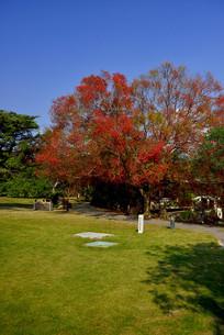 椰榆树图片