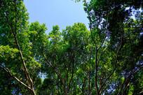 郁郁葱葱的榕树