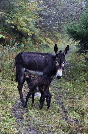 毛驴妈妈和吃奶的小毛驴
