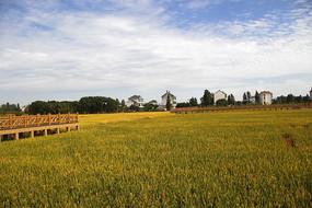 乡村丰收稻田