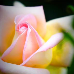 粉白月季花