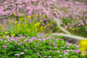 桃花林中的小野花