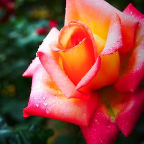 一朵粉色月季花