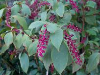 商陆花序和枝叶