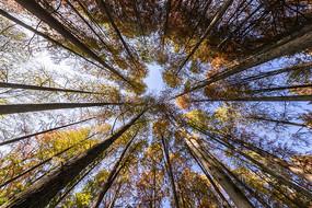 仰拍秋天的落羽杉