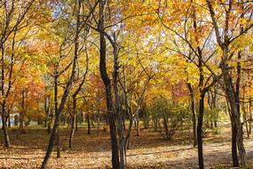 秋天枫树林