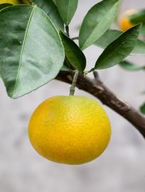 挂在枝头单个的脐橙特写