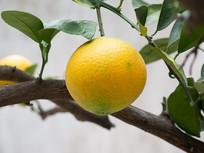 挂在枝头的一个脐橙的特写镜头