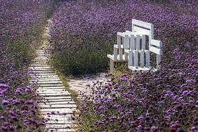 紫色花海园林景观