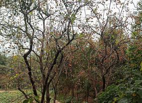 秋季的柿子树