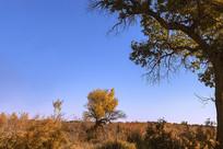 秋天大漠胡杨林风光