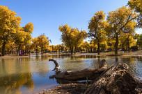 秋天水边的胡杨林风光