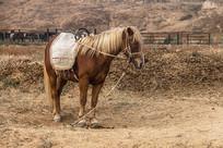 一匹蒙古马