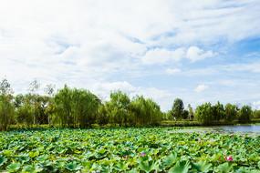 湿地荷花湖