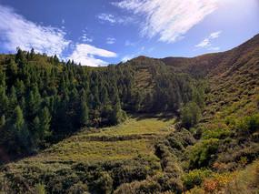 蓝天白云下茂密的松林和灌木