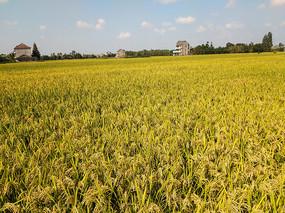 家乡成熟稻谷