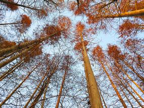 清晨阳光水杉林