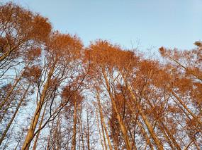 深冬水杉林
