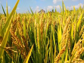 阳光成熟稻谷