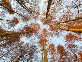 仰拍冬日水杉林
