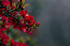 盛开的红色贴梗海棠花