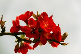 一枝红色的贴梗海棠花