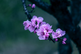 枝頭桃花開