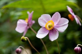 毛茛科植物野棉花粉紅色的花朵