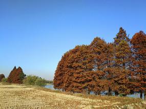 蓝天茂盛水杉