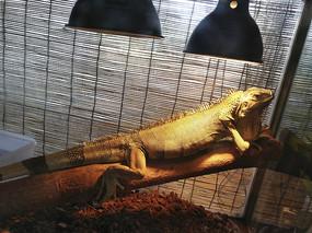 室内养蜥蜴