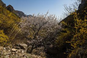 春天里的山桃花開