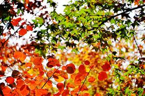 红绿相间的元宝枫与枫叶