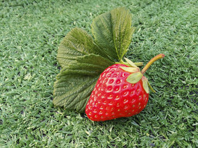 大叶鲜草莓