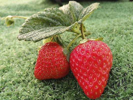 生态鲜草莓